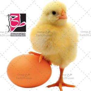 دانلود تصویر دوربری شده با کیفیت جوجه و تخم مرغ