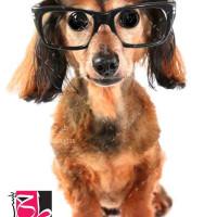 تصویر استوک و با کیفیت سگ عینکی