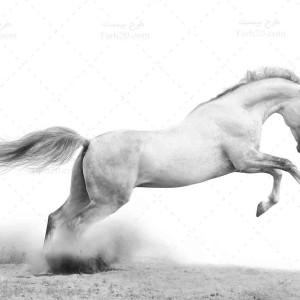 تصویر با کیفیت و استوک اسب سفید