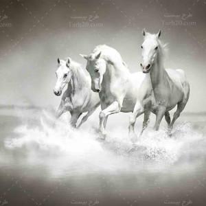 تصویر با کیفیت اسب های سفید زیبا