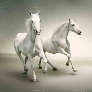 تصویر با کیفیت دو اسب سفید رنگ زیبا