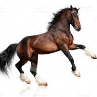 تصویر با کیفیت اسب قهوه ای زیبا