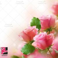 عکس با کیفیت گلهای رز صورتی