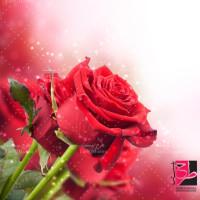 دانلود عکس با کیفیت گل رز قرمز