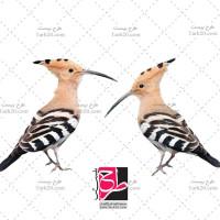 تصویر با کیفیت پرنده شانه به سر یا هدهد