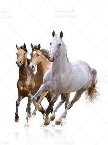 عکس اسب ها